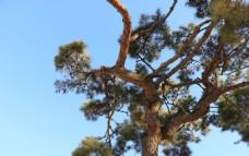 造型奇特的松树
