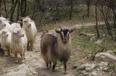 北京门头沟山中羊群